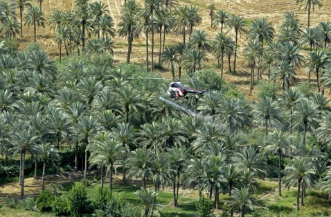 NAJAF, IRAQ: A Soviet-era helicopter sprays pesticides over the date palm trees near the holy city of Najaf, south of Baghdad.
