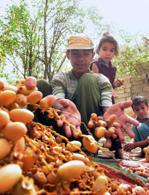 Basra, IRAQ: Iraqi children collect the date harvest in the southern city of Basra, 02 August 2006.