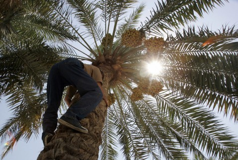 An Iraqi man climbs a date tree at a garden in central Baghdad, 14 August 2007.