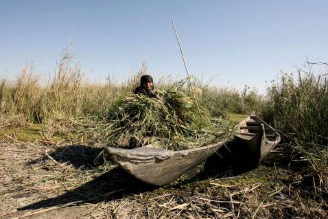 An Iraqi woman collects grass from the marshes near the southern city of Nasiriyah, 25 November 2007.