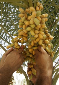 Iraqi men pick up ripe dates from a tree at a garden in central Baghdad, 14 August 2007.